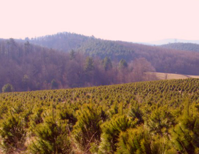 PHILLIPS TURMAN   TREE FARMS